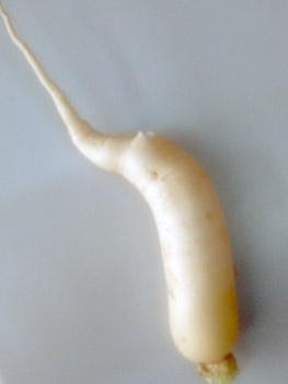 'White Radish' harvested in 'Basalt Stone Dust'